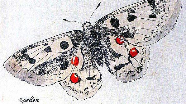 Papillon Forssard